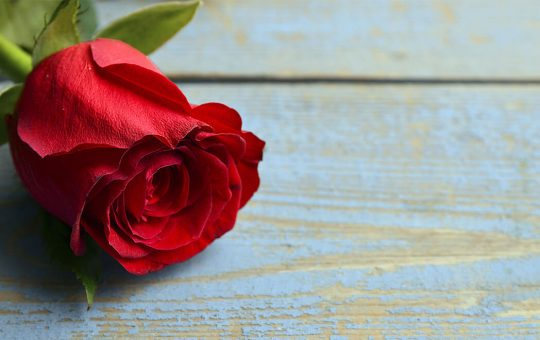 Single red rose on blue wood background